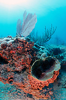 giant barrel sponge, Xestospongia muta, .and gorgonians, Gorgonia sp., .Captain Keith's Reef, Key Biscayne, .Miami, Florida (Atlantic).