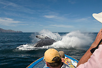 Humpback whale (megaptera novaeangliae) Gulf of California.A breaching humpback crashes back into the water just a couple of metres in front of thrilled tourists., Baja California, Mexico, Pacific Ocean