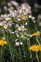 Wiesen-Schaumkraut, Schaumkraut, Cardamine pratensis, Cuckoo Flower, Lady´s Smock