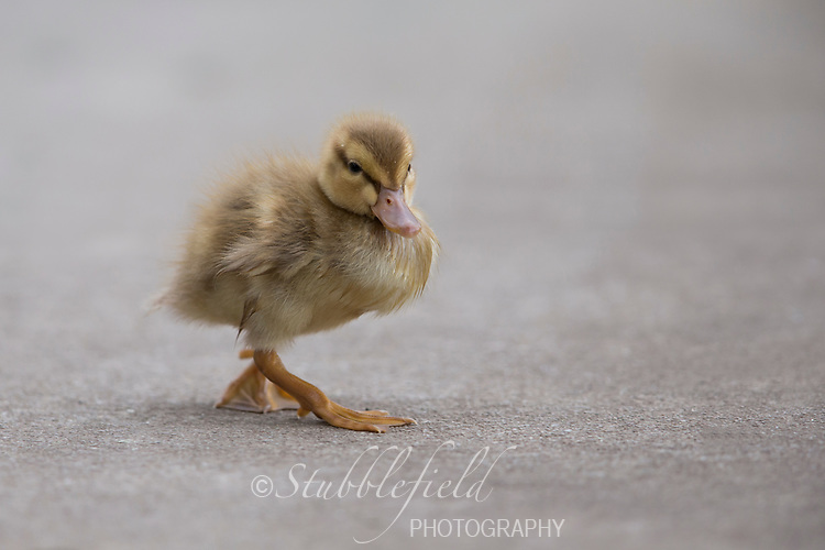 Pacific Black Duck (Anas superciliosa rogersi) downy chick running on the sidewalk in Rymill Park in Adelaide, Australia.
