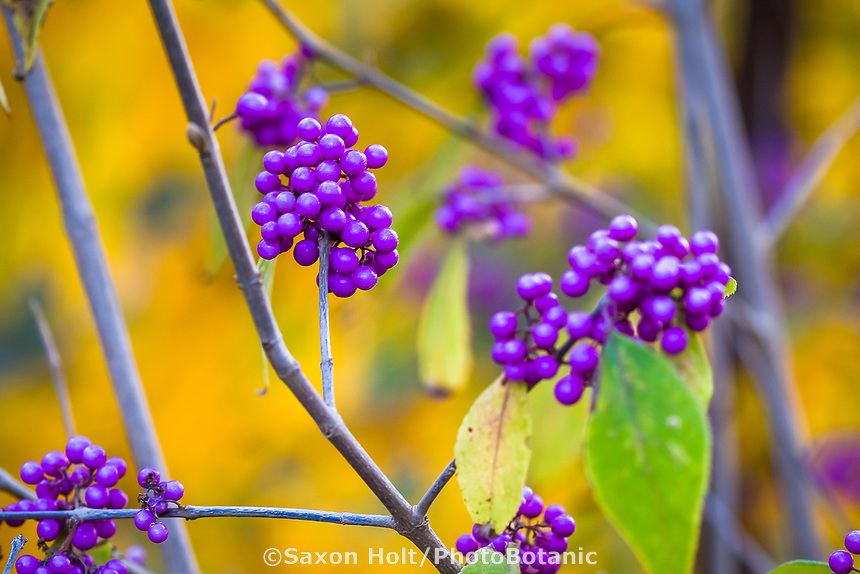 Purple Callicarpa japonica (Japanese Beautyberry) berries in autumn garden