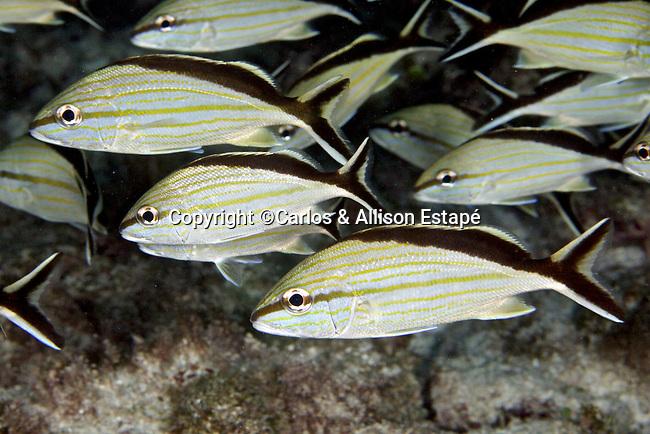 Haemulon melanurum, Cottonwick, Florida Keys