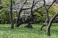 A meadow populated with old trees in Higashi-Gyoen, the East Gardens of the Imperial Palace