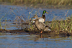 Mallard - male and female