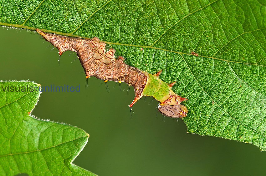 Unicorn Caterpillar (Schizura unicornis), Florida, USA