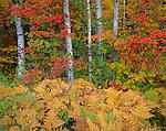 Apostle Islands NL, WI:  Autumn colors of bracken ferns (Pteridium aquilinum) and forest of birch (B. papyrifera) and American hornbeam (Carpinus caroliniana)