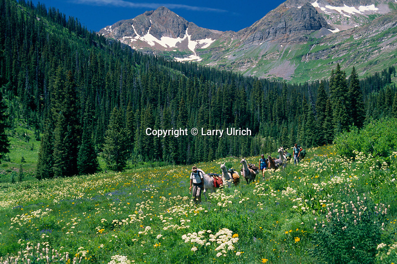 Llama packing,  Oh-Be-Joyful Trail<br />