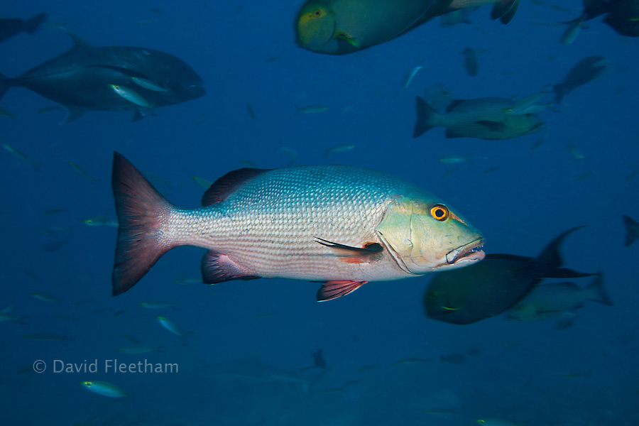 Adult two-spot red snapper, Lutjanus bohar, often form large schools on the outer reefs. The main purpose for schooling is to form spawning aggregations. Bequ Lagoon, Fiji.