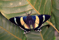 The large Zodiac moth (Alcides zodiaca) looks rather like a swallowtail butterfly. It lives in Australian tropical rainforests.