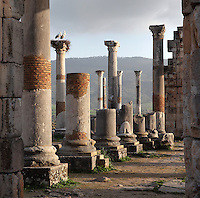 The Roman Basilica, 217 AD, used as courts of justice and city governance, Volubilis, Northern Morocco. Storks sit on a nest atop one of the columns. Volubilis was founded in the 3rd century BC by the Phoenicians and was a Roman settlement from the 1st century AD. Volubilis was a thriving Roman olive growing town until 280 AD and was settled until the 11th century. The buildings were largely destroyed by an earthquake in the 18th century and have since been excavated and partly restored. Volubilis was listed as a UNESCO World Heritage Site in 1997. Picture by Manuel Cohen