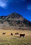Cattle grazing in valley of Slate River, near Crested Butte, CO