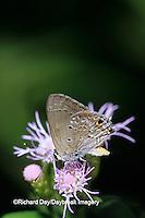 03200-00103 Mallow Scrub-Hairstreak butterfly (Strymon columella) on Crucita Mistflower (Eupatorium odoratum), Hidalgo Co. TX