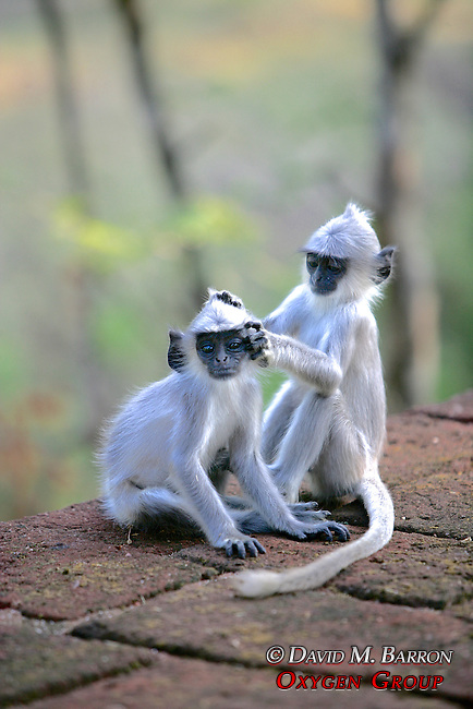 Hanuman Langur Infants Grooming