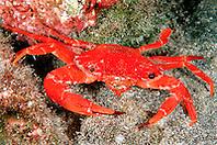 red swimming crab with deformed eye, .Charybdis paucidentata, .Kona, Big Island, Hawaii (Pacific)
