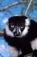 Ruffed Lemur, Lemur variegata