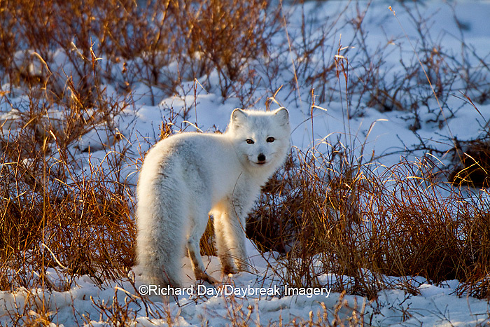 01863-01306 Arctic Fox (Alopex lagopus) in snow in winter, Churchill Wildlife Management Area, Churchill, MB Canada