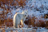 01863-01306 Arctic Fox (Alopex lagopus) in snow in winter, Churchill Wildlife Management Area, Churchill, MB Canada