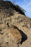 elephant seal sleeping in dunes at Ano Nuevo SR