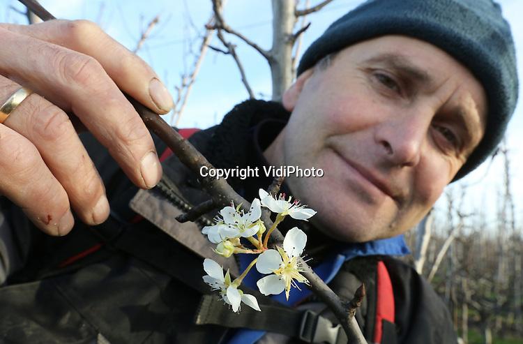 Foto: VidiPhoto<br /> <br /> DODEWAARD - Fruitteler Thomas de Vree uit Dodewaard toont woensdag een van de vele bloesemknoppen in zijn boomgaard. Met name de perenbomen zijn gevoelig voor het zachte winterweer. Bloesem in de winter heeft de Betuwse fruitteler nog niet eerder meegemaakt. Doordat de sapstroom in de bomen inmiddels op gang is gekomen, laat de bloesem zich al op diverse plekken zien. De hoge temperaturen veroorzaken bovendien bij andere knoppen schimmelinfecties, waardoor de knoppen afsterven. Zodra het weer omslaat en het 's nachts flink gaat vriezen dreigt er een ramp voor de fruitsector. Met name de onderstammen van de bomen zijn erg gevoelig voor vorst, vooral als ze niet in winterrust verkeren. Om dat te voorkomen heeft De Vree de onderstammen voorzien van een flinke laag extra grond.