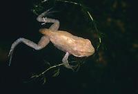 Grasfrosch, Gras-Frosch, Jungtier, Metamorphose, Frosch, Rana temporaria, European Common Frog, European Common Brown Frog
