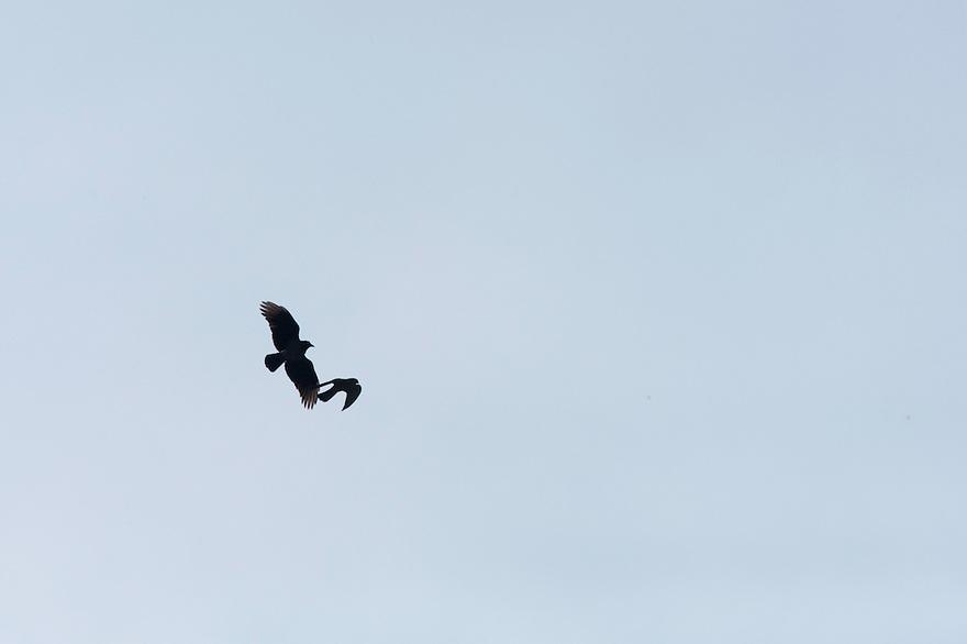 Hooded crow (Corvus corone cornix) hunting Kestrel (Falco tinninculus) in Vatican's garden, Rome, Italy