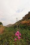 Israel, Upper Galilee. Alcea setosa flowers in Wadi Aviv