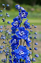 Delphinium 'Margaret', early September.