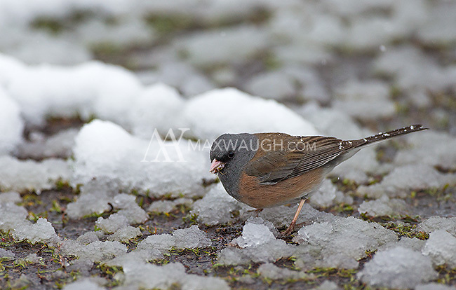 A dark-eyed junco forages after a snow storm.