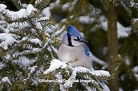 01288-05312 Blue Jay (Cyanocitta cristata) in spruce tree in winter, Marion Co., IL