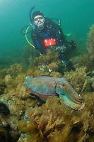 Giant Cuttlefish, Sepia apama, diver watching cuttlefish at breeding aggregation, Point Lowly, Whyalla, South Australia, Australia, Spencer Gulf, Southern Ocean (MR)