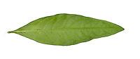 Water-pepper - Persicaria hydropiper
