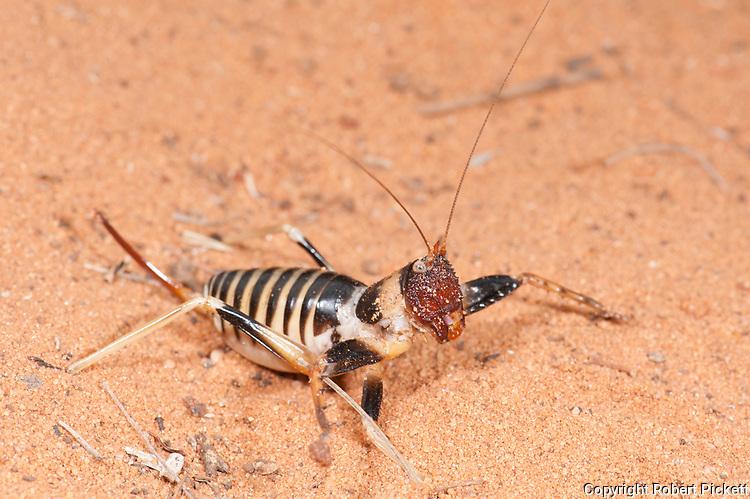 Cricket, Colossopus grandidieri, Reniala Nature Reserve, Ifaty, Madagascar