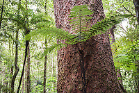 Fern and Kauri Tree, Waipoua Kauri Forest, Northland Region, North Island, New Zealand