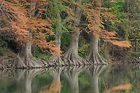 Bald Cypress (Taxodium distichum), Cypress Bend Park, New Braunfels, Hill Country, Central Texas, USA