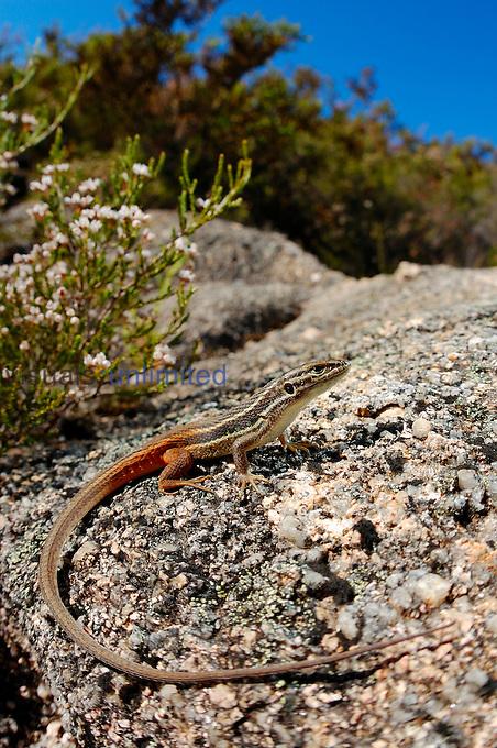 Large Psammodromus (Psammodromus algirus), Portugal
