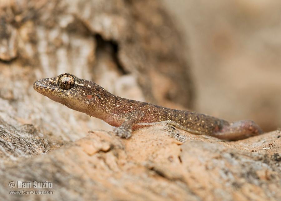 Four-clawed gecko, Gehyra mutilata, on Atauro Island, Timor-Leste (East Timor).