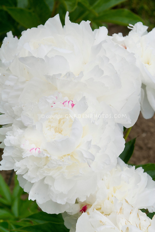 Peony old variety double white flowers Paeonia 'Boule de Neige'