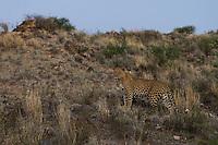 Male leopard in Mabuasehube landscape