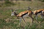 CENTRAL KALAHARI GAME RESERVE, BOTSWANA - MAY 26, 2010: The Central Kalahari Game Reserve is an extensive national park in the Kalahari desert of Botswana. (Photo by Dirk Markgraf)