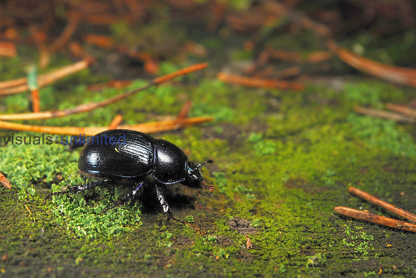 Forest Dung Beetle (Geotrupes stercorosus), Estonia