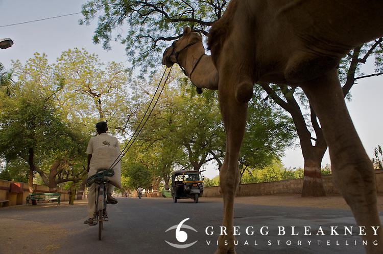 A working class man tows his camel along his morning commute. Bundi, India