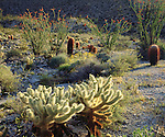 USA; California; San Diego.  Desert Ecosystem  in Anza Borrego Desert State Park. Cholla and Barrel cactus with Ocotillo plants