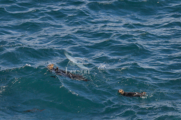 Sea Otters (Enhydra lutris)--mother and pup--in open ocean.