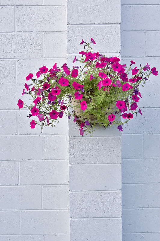 Petunia basket on white wall. Halfway. Oregon