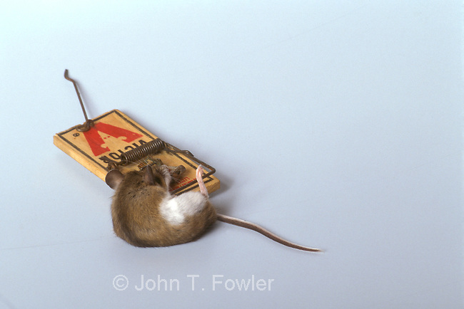 Deer mouse, Peromyscus maniculatis, in trap