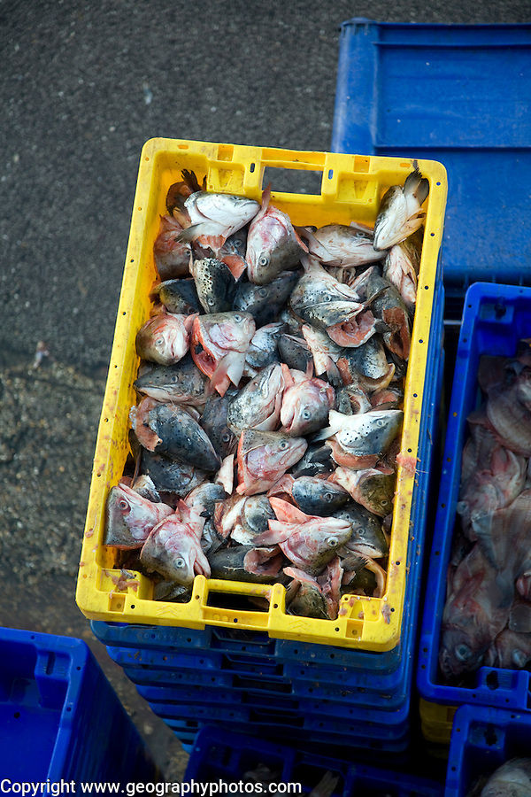 Fishing harbour unloaded fresh catch Bridlington, Yorkshire, England - fish scraps to be used as bait in boxes