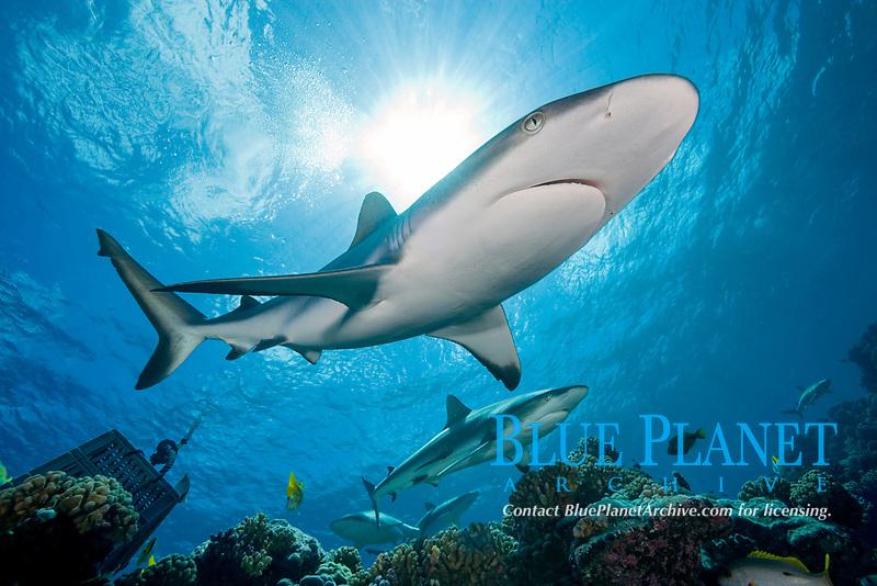 grey reef shark, Carcharhinus amblyrhynchos, Manihi Atoll, Tuamotu Archipelago, French Polynesia, Pacific Ocean