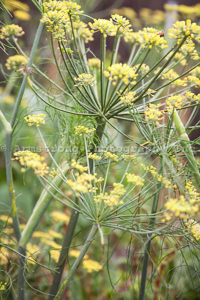 A dill plant in a vegetable garden with yellow flowers.