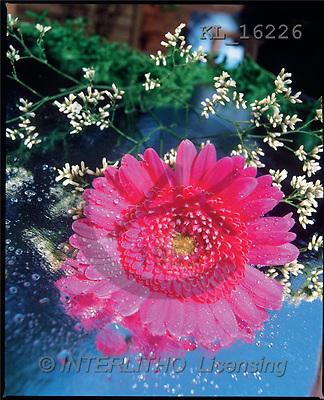 Interlitho, Alberto, FLOWERS, portrait, macro, photos, pink gerbera, KL, KL16226,#F# Blumen, flores, retrato