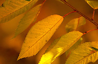 Cherry tree leaves during autumn in England